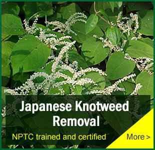 Japanese Knotweed Removal London, Kent, South East